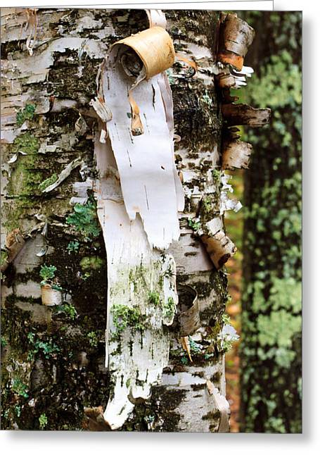 Boundary Waters Greeting Cards - Peeling Birch Greeting Card by Adam Pender
