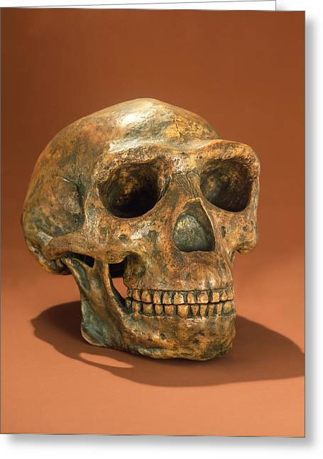 Tooth Greeting Cards - Peking Mans Reconstructed Skull, Cave Choukoutien Bone Greeting Card by Chinese School