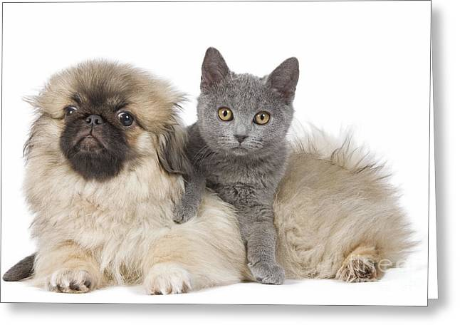 Breeds Greeting Cards - Pekingese Puppy And Kitten Greeting Card by Jean-Michel Labat