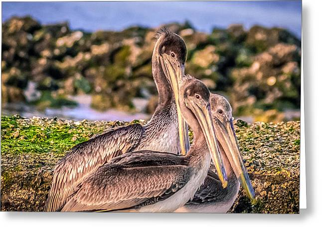 Seabirds Greeting Cards - Pelecanus Trio Greeting Card by Rob Sellers