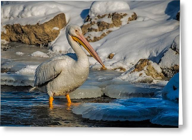 Wildlife Art Posters Greeting Cards - Pelican And Ice Greeting Card by Paul Freidlund