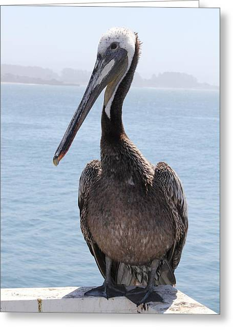 Santa Cruz Wharf Greeting Cards - Pelican Greeting Card by Anthony Trillo