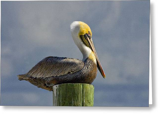 Stretchy Greeting Cards - Pelican at Rest Greeting Card by Sandra Anderson
