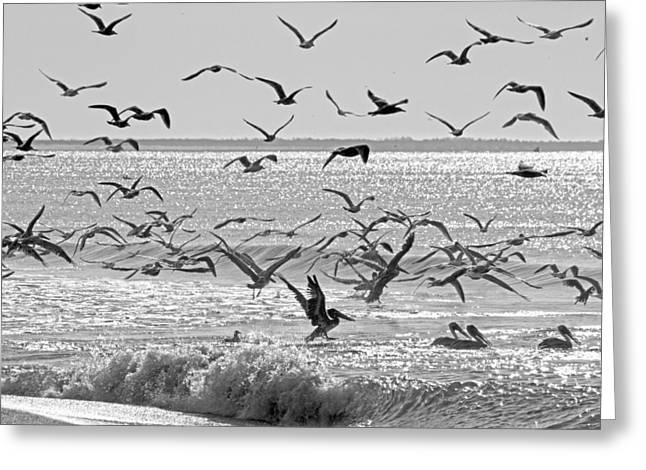 Atlantic Beaches Greeting Cards - Pelican Chaos Greeting Card by Betsy A  Cutler