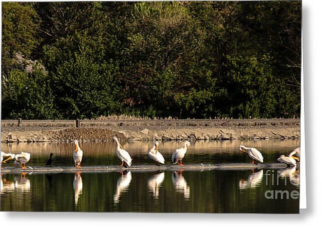 American White Pelican (pelecanus Erythrorhynchos) Greeting Cards - Pelican Clean Up Time Greeting Card by Robert Bales