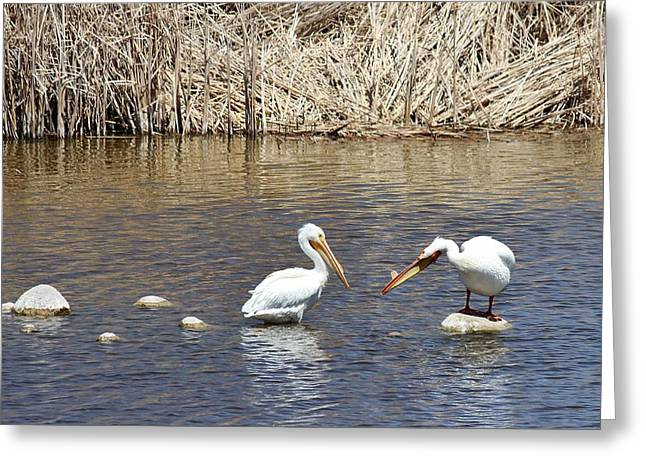 Fountain Creek Nature Center Greeting Cards - Pelican Confrontation Greeting Card by Diane Alexander