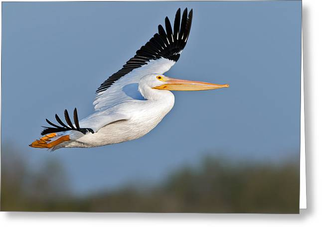 Flying White Pelicans Greeting Cards - Pelican flight  Greeting Card by Gary Langley
