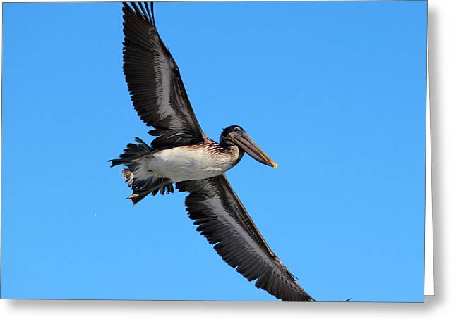 Seabirds Greeting Cards - Pelican Flying High Greeting Card by Cynthia Guinn