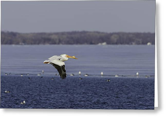 American White Pelican (pelecanus Erythrorhynchos) Greeting Cards - Pelican Flying Into Open Water Greeting Card by Thomas Young