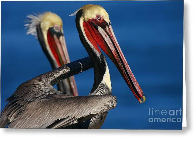 Sea Animals Greeting Cards - Pelican Heads Greeting Card by John Tsumas
