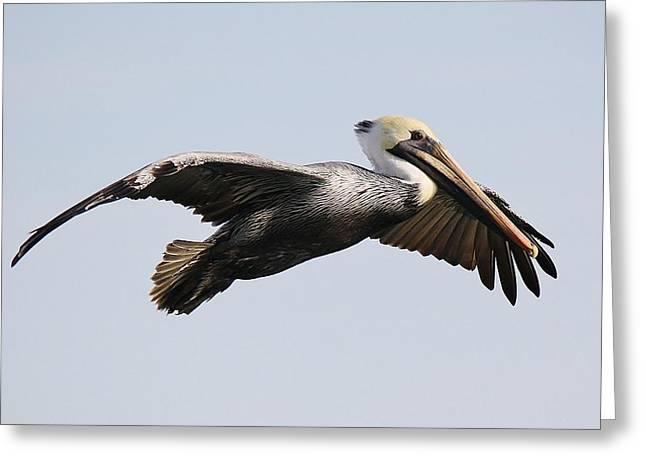 Pelican In Flight Greeting Card by Paulette Thomas