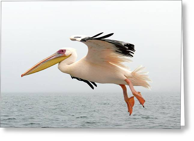 Greeting Cards - Pelican in Flight Greeting Card by Ramona Johnston