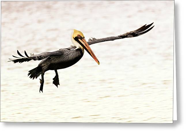 Pelicans Flying Greeting Cards - Pelican In for the Landing Greeting Card by Vicki Jauron