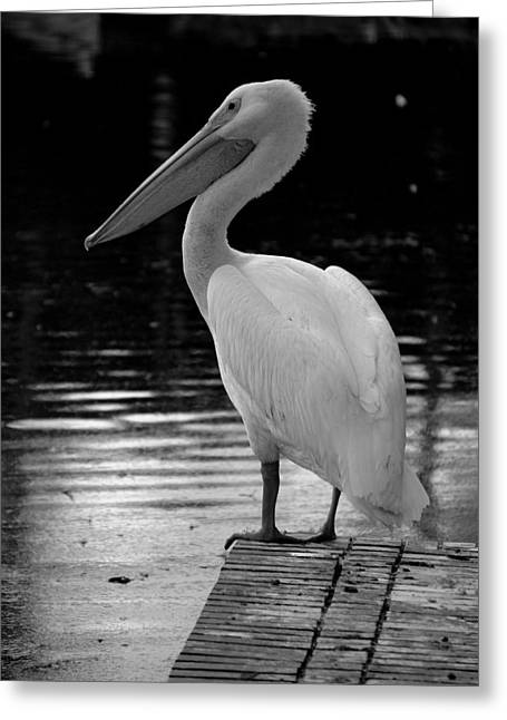 Laurie Perry Greeting Cards - Pelican in the Dark Greeting Card by Laurie Perry
