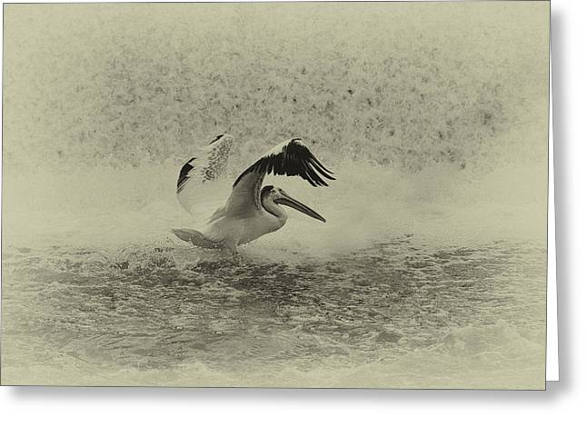 Pelican Landing Greeting Cards - Pelican Landing in black and white Greeting Card by Thomas Young
