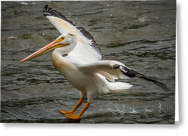 Flying White Pelicans Greeting Cards - Pelican Landing Greeting Card by Paul Freidlund