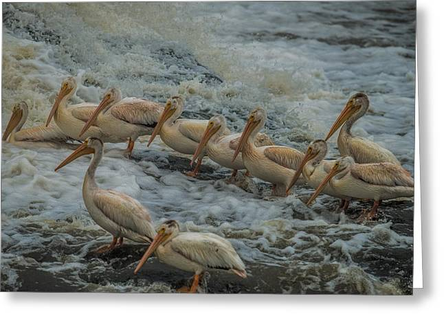 Water Fowl Greeting Cards - Pelican Lineup Greeting Card by Paul Freidlund