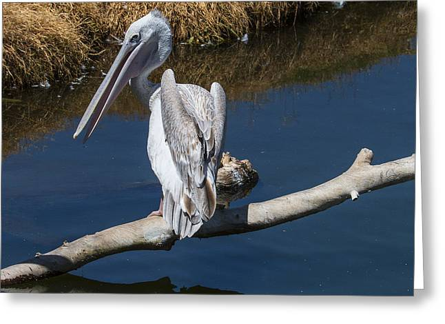 Pelican Greeting Cards - Pelican On Branch Greeting Card by Garry Gay