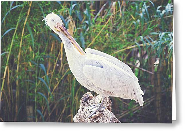 Seabirds Greeting Cards - Pelican Greeting Card by Pati Photography