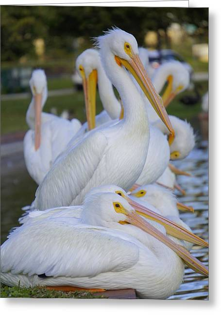 Seabirds Greeting Cards - Pelican Pile Greeting Card by Laurie Perry