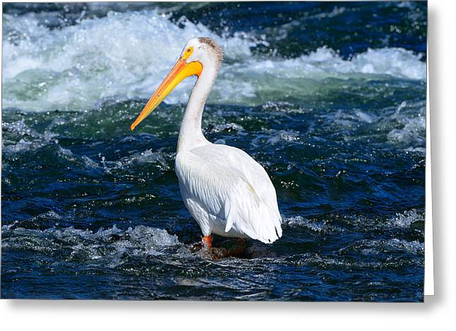 Yellowstone National Park Greeting Cards - Pelican Portrait Greeting Card by Greg Norrell
