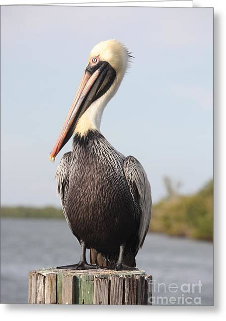 Florida Wildlife Greeting Cards - Pelican Pose Greeting Card by Carol Groenen
