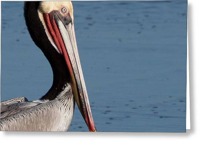 California Ocean Photography Greeting Cards - Pelican Profile Greeting Card by John Daly