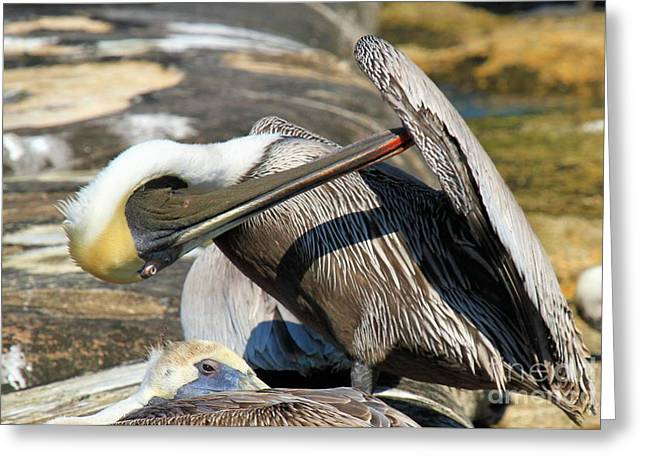 St Joseph Peninsula State Park Greeting Cards - Pelican Scratch Greeting Card by Adam Jewell