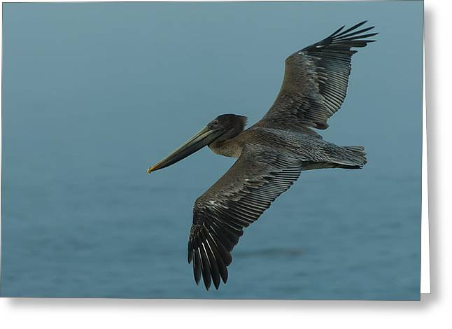 Pelican Greeting Cards - Pelican Greeting Card by Sebastian Musial