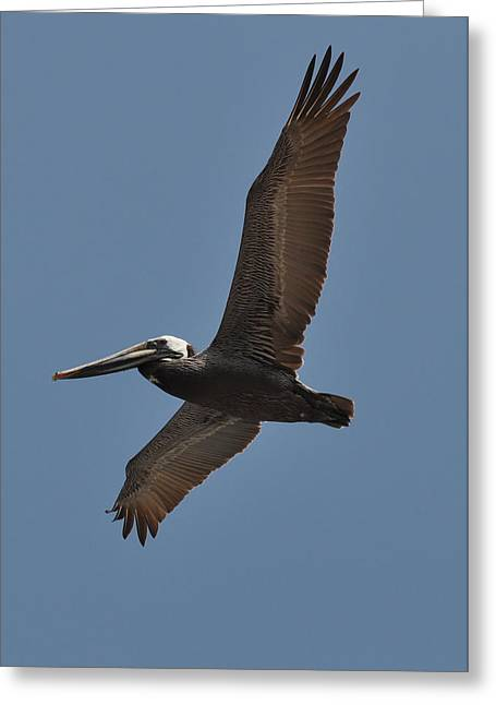 Paul Lyndon Phillips Greeting Cards - Pelican Soar - c3917a Greeting Card by Paul Lyndon Phillips