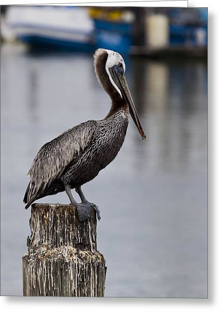 Moss Landing Harbor Greeting Cards - Pelican Greeting Card by Steve Taylor