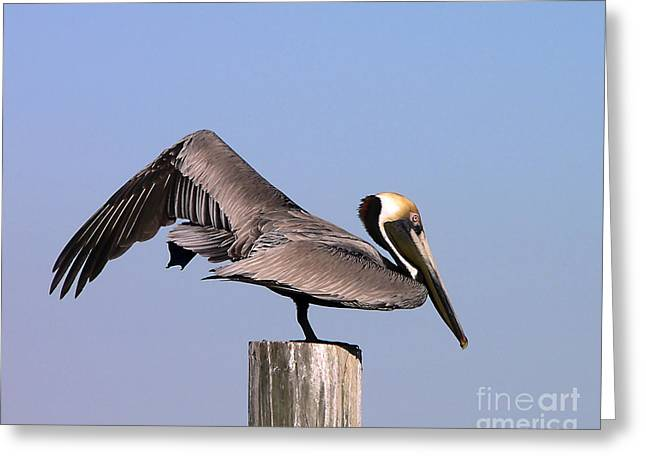 Seabirds Greeting Cards - Pelican Stretch Greeting Card by Al Powell Photography USA