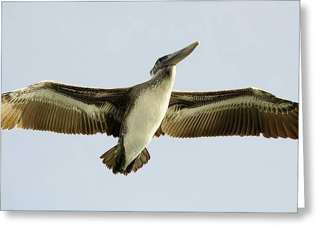 Pelican Wing Span Greeting Card by Paulette Thomas