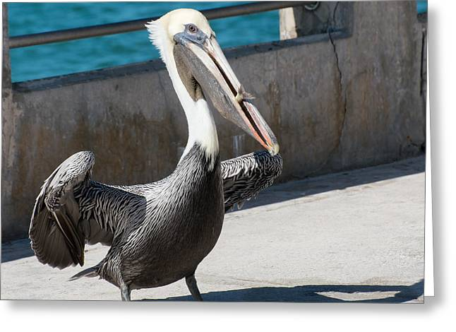 Brown Pelicans Greeting Cards - Pelican with Fish White Street Pier Key West - Square Greeting Card by Ian Monk