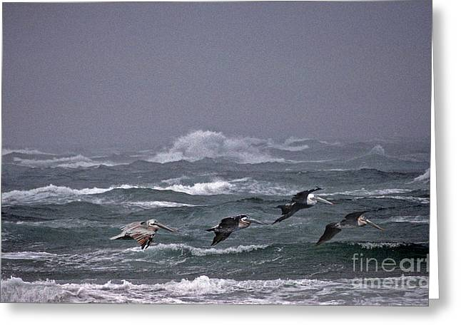 Kinds Of Birds Greeting Cards - Pelicans In A Row Greeting Card by Skip Willits