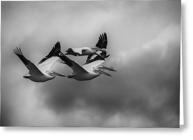 Flying White Pelicans Greeting Cards - Pelicans In Flight Greeting Card by Thomas Young