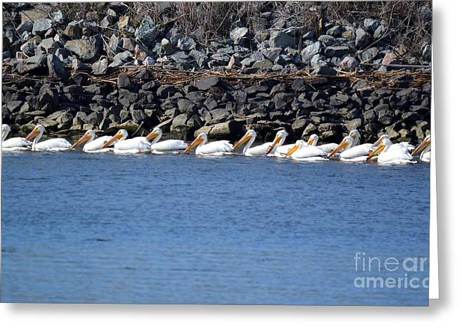 Bird Cocoon Greeting Cards - Pelicans on slough  Greeting Card by Gero