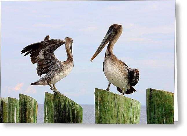 St Petersburg Florida Greeting Cards - Pelicans Posing on Posts Greeting Card by Dorothy Menera