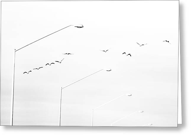 Australia Photographs Greeting Cards - Pelicans Take Flight Greeting Card by Constance Fein Harding