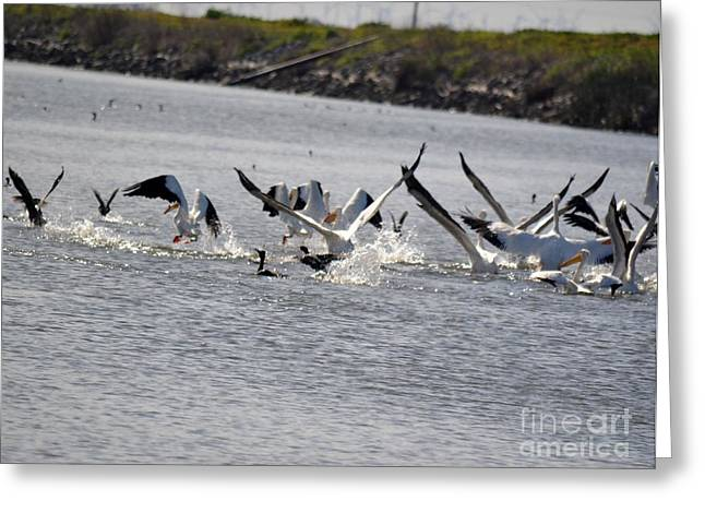 Bird Cocoon Greeting Cards - Pelicans take Flight Greeting Card by Gero