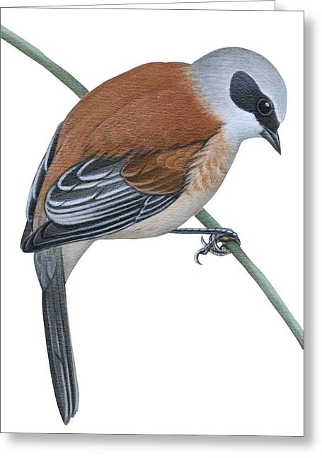 Vertical Drawings Greeting Cards - Penduline tit  Greeting Card by Anonymous