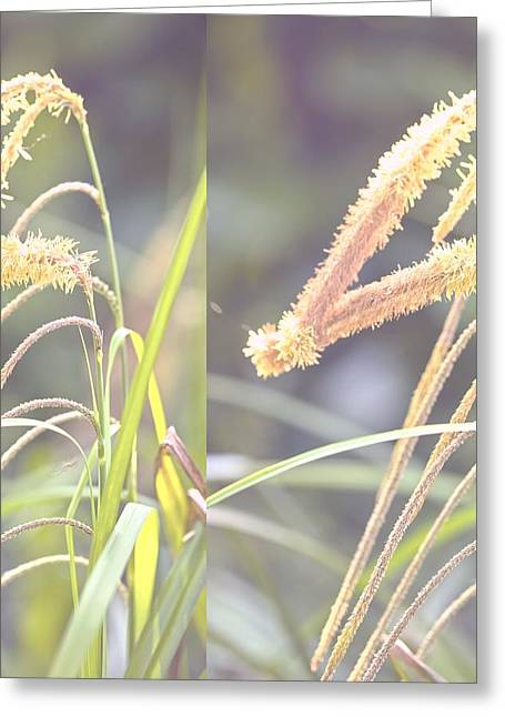 Weeping Greeting Cards - Pendulous Sedge (Carex pendula) Greeting Card by Science Photo Library