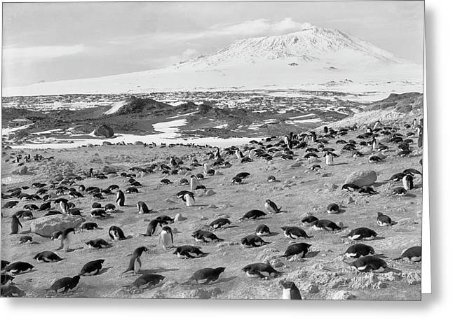 Penguin Colony In Antarctica Greeting Card by Scott Polar Research Institute