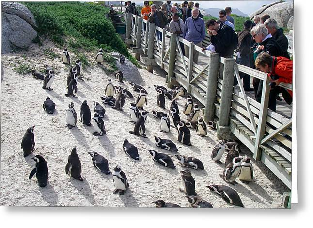 Geobob Greeting Cards - Penguin Marine Protected Area Simonstown South Africa Greeting Card by Robert Ford