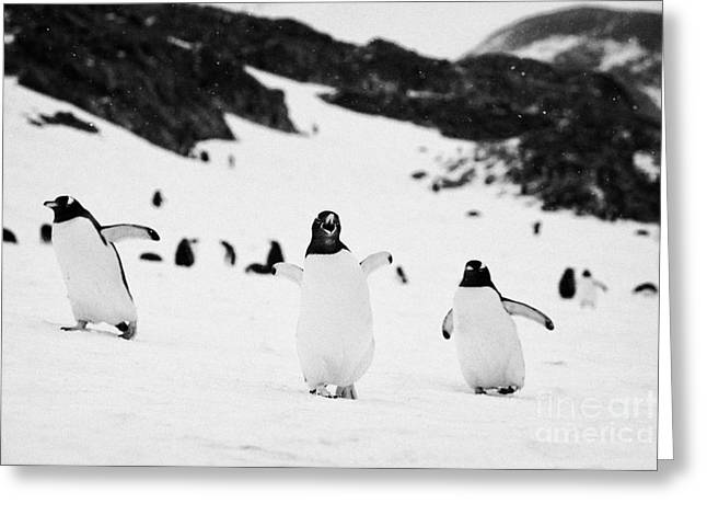 Called Away Greeting Cards - Penguin With Wings Outstretched Calling In Gentoo Penguin Colony On Cuverville Island Antarctica Greeting Card by Joe Fox