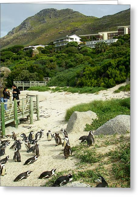 Geobob Greeting Cards - Penguins in MPA or Marine Protected Area Simonstown South Africa Greeting Card by Robert Ford