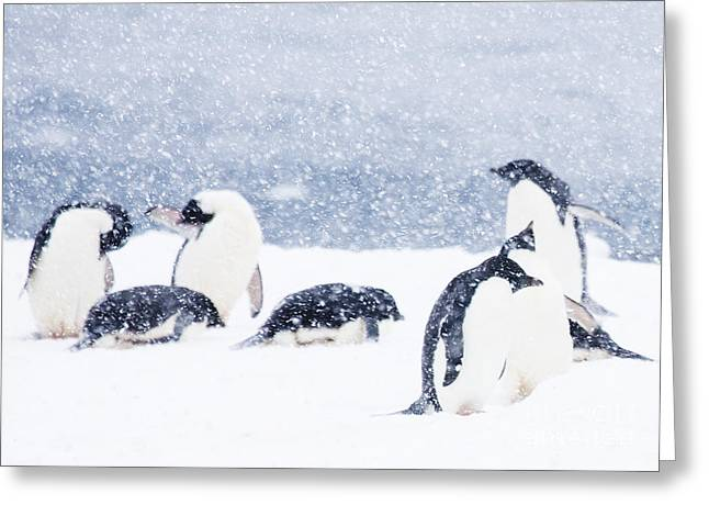 Penguins In The Snow Greeting Card by Carol Walker