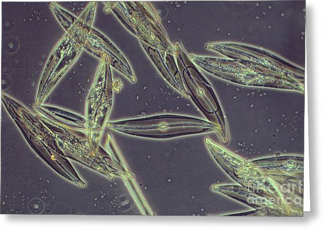 Unicellular Greeting Cards - Pennate Diatoms Greeting Card by Biology Media