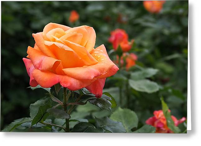 Peach Greeting Cards - Pensioners Voice Roses Greeting Card by Rona Black