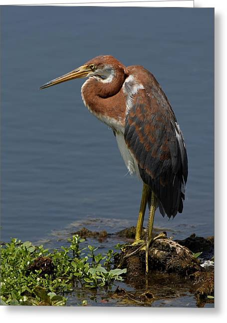 Pensive Greeting Card by Dawn Currie